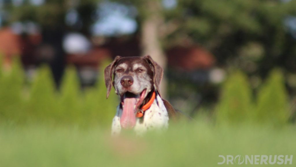 A German Shorthaired Pointer named Abbie sits in the cool grass on a sunny day, let's talk about the best drones for pet photography - specifically dog photos.